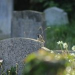 Our churchyard has clearly cut paths throughout, but we leave many areas to grow wild. Thanks to this, our grounds are a haven for birds, insects and lizards such as slowworm
