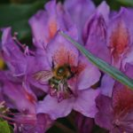 Bees collecting nectar in the late evening of the day