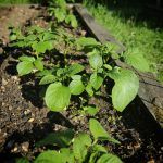 Our vegetable garden is coming up well; potatoes growing under the vibrant green leaves