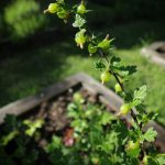 Gooseberries ripening!